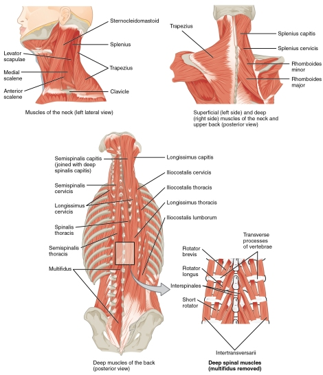 sternocleidomastoid muscles-professional-voice-blog-voice blog-colroado voice clinic-denver-doctor-vocal-neck-sore-tension-muscles-how to warm up your voice-how to stretch your neck-how to exercise your voice-health-singer-posture-ENT-opperman