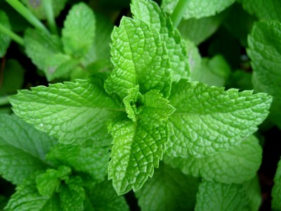 Professional Voice Blog | Super Herbs & Spices - Mint