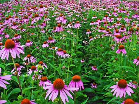 Different Species of Echinacea